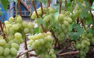 Виноград Богатяновский (Крайнова В.Н.) – описание и фото сорта