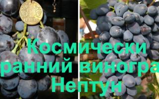Виноград Нептун (кишмиш) – описание и фото сорта