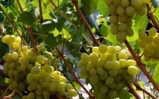 Виноград Галахад – описание и фото сорта, отзывы о выращивании