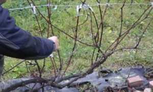 Полярность винограда и способы её преодоления
