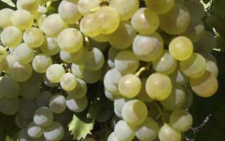 Виноград Вечерний – винный технический сорт, описание и фото
