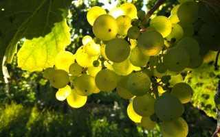 Виноград Слава Украине (Вишневецкого Н.П.) – описание и фото сорта