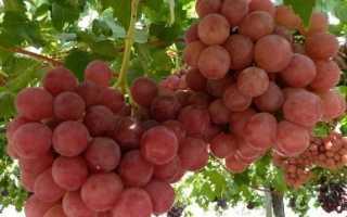 Виноград Гурман ранний 1-12 (Нежность) – описание и фото сорта