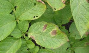 Абига Пик – медьсодержащий фунгицид от болезней винограда