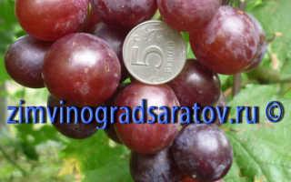 Виноград Флейм сидлис (кишмиш Пламя) – описание и фото сорта