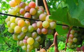 Виноград Темерник – описание и фото сорта