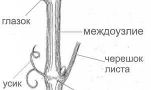 Нагрузка винограда глазками (почками) при обрезке куста