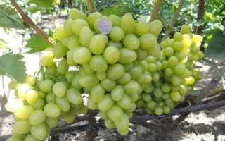Виноград Клеопатра (Бурдака А.В.) – описание и фото сорта