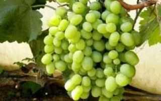 Виноград Алекса (Памяти Кострикина) – описание и фото сорта