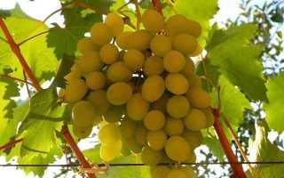 Виноград Ланселот – описание и фото сорта