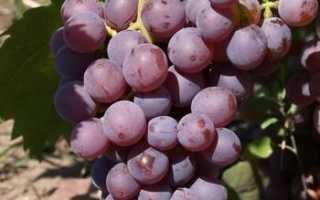 Виноград Элегия (донецкой селекции) – описание и фото сорта