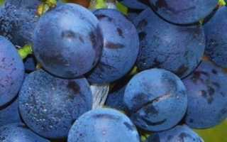 Виноград Юодупе (селекции А.Гайлюнаса) – описание и фото сорта