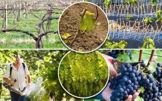 Уход за виноградом в течение сезона. Дневник виноградаря
