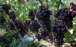 Виноград Эффект (Павловский Е.Г.) – описание и фото сорта