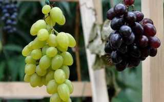Выбираем сорт винограда по описаниям