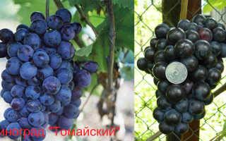 Виноград Томайский – описание и фото сорта