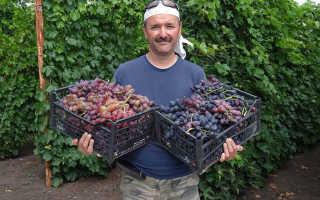 Любительская народная селекция винограда
