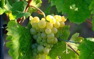 Укоренение черенков винограда – лучшие способы