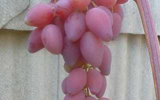 Виноград Селена (Гусев С.Э.) – описание и фото сорта